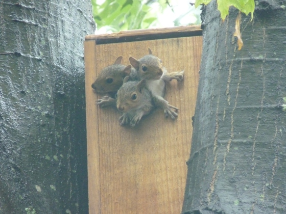 Gray Squirrel kits