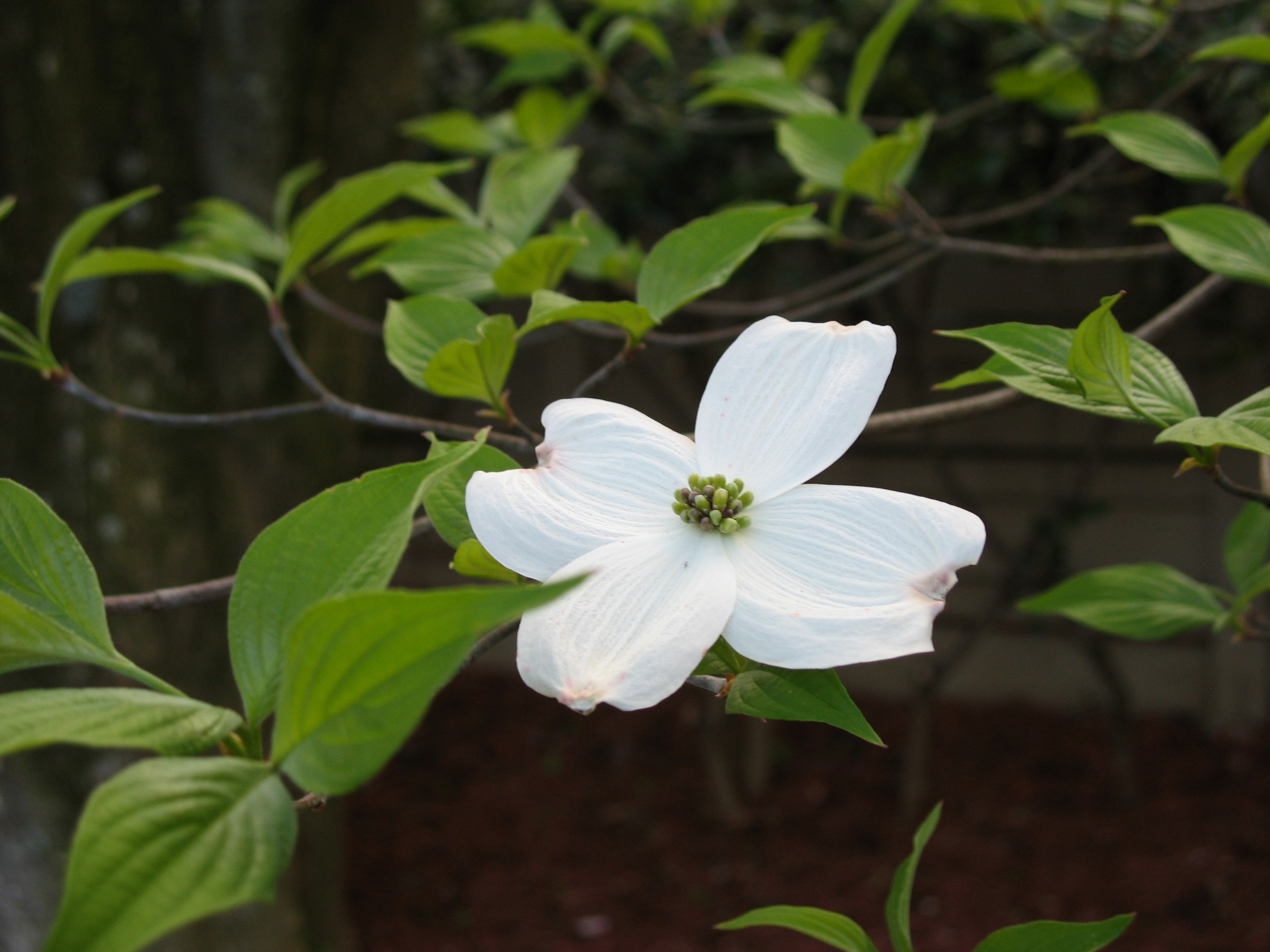 Flowering Dogwood | the squirrel nutwork