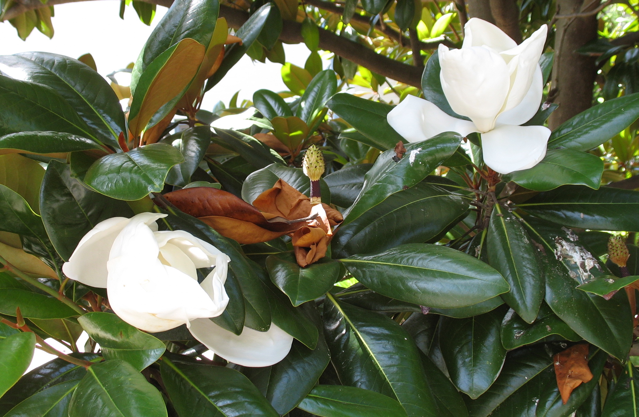 Southern Magnolia | the squirrel nutwork