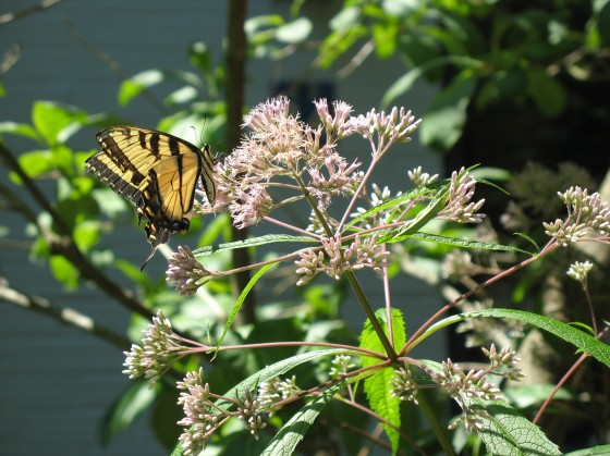 Joe-Pye Weed with Tiger Swallowtail