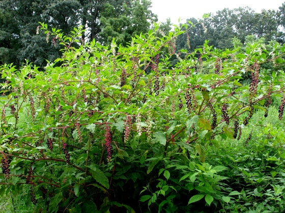 Pokeweed in late summer