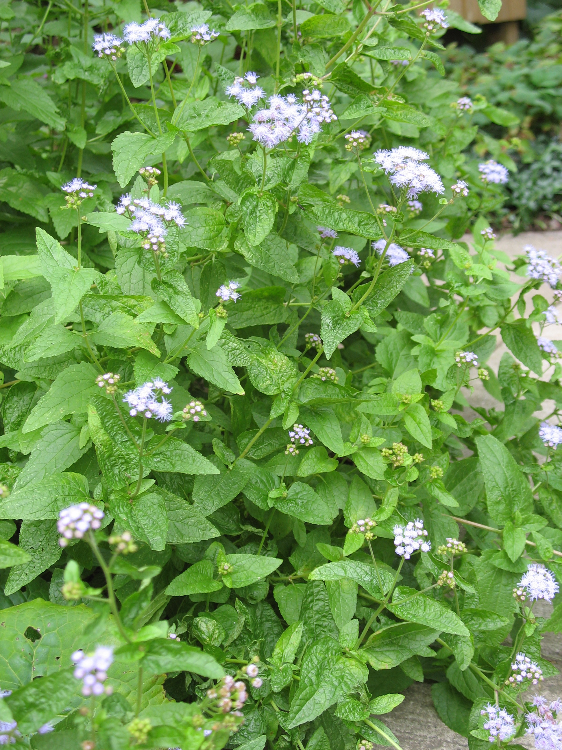 Blue mistflower the squirrel nutwork blue mistflower izmirmasajfo