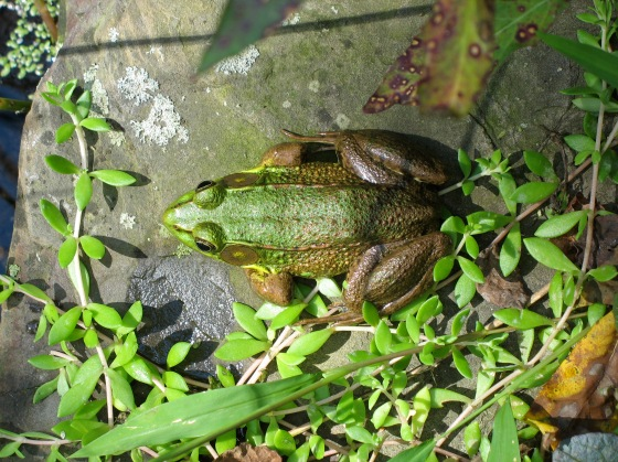 dorsolateral ridges on Green Frog
