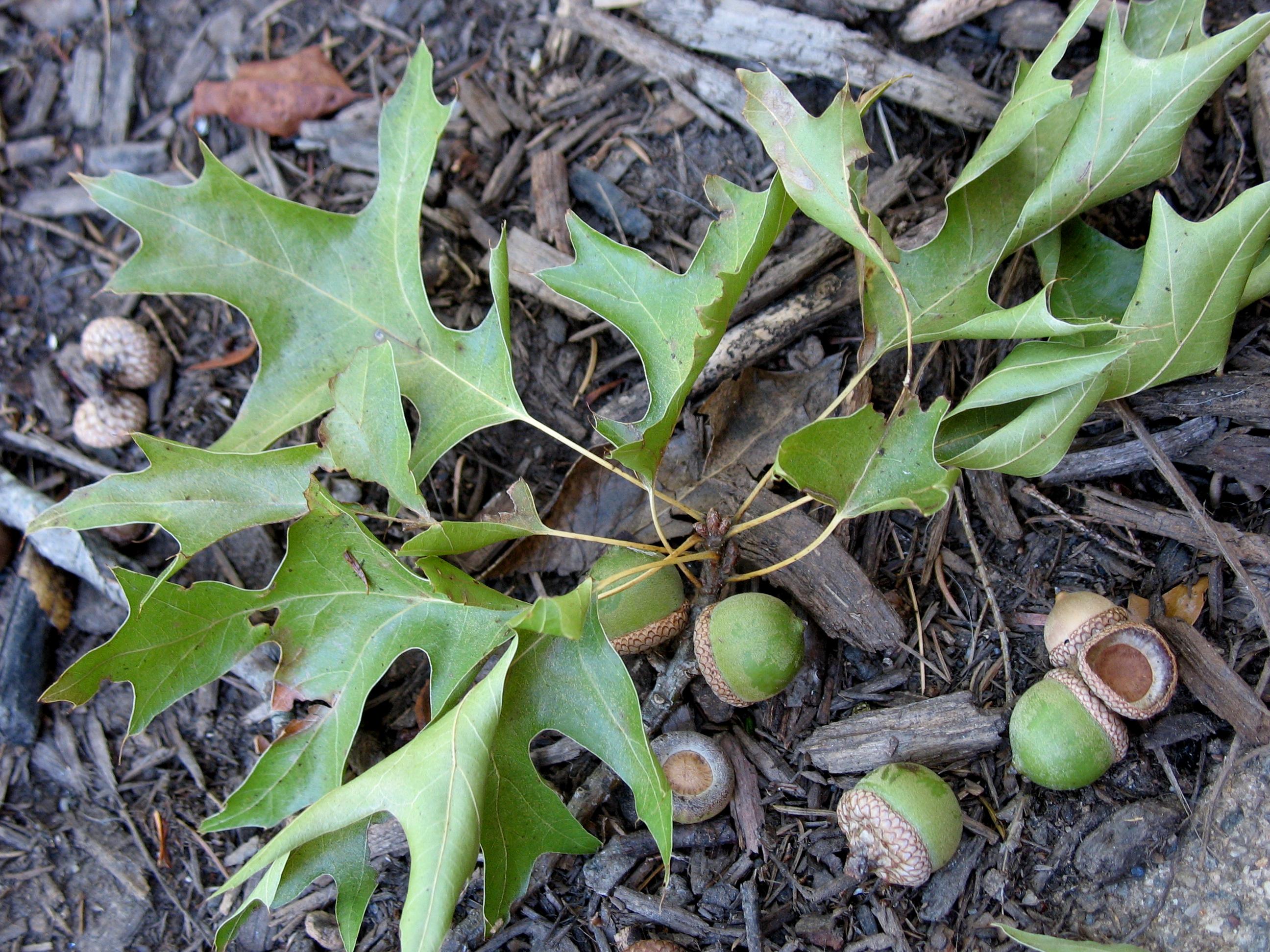 Good Pix For Quercus Coccinea AcornQuercus Coccinea Acorn