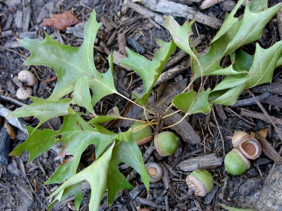 Black Oak Acorns