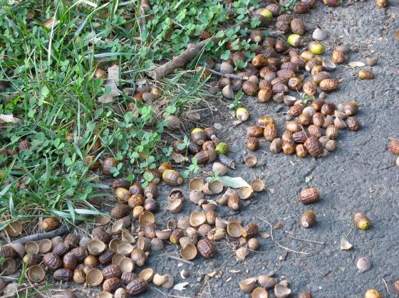 many acorns