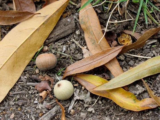 Willow Oak acorns