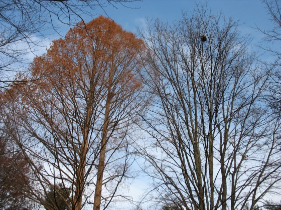 Squirrel leaf nests: Metasequoia left, Red Maple right