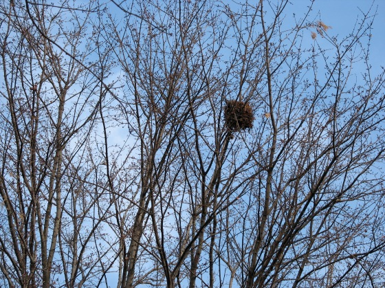 Nutmeg's Nest in Red Maple