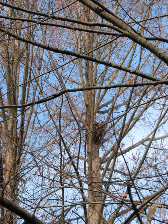 Hickory's nest in Metasequoia