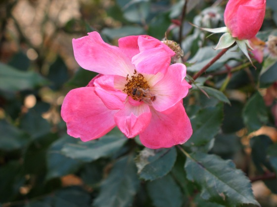 Honeybee in rose blossom