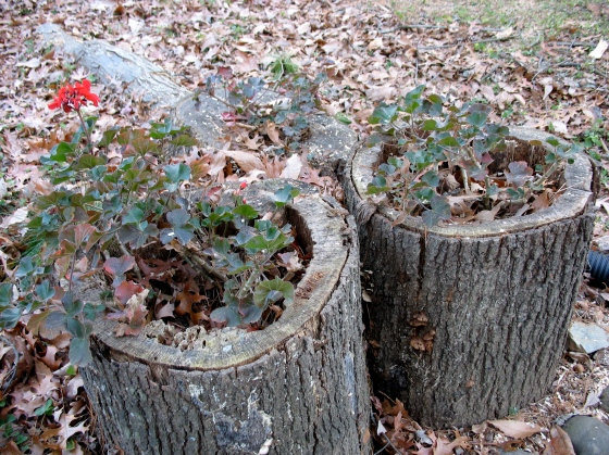 hollow stumps as planters
