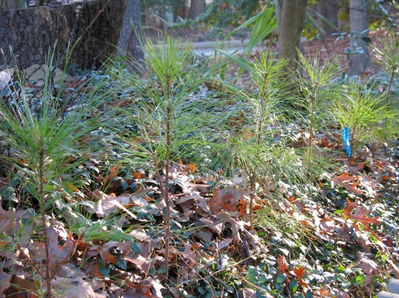 White Pine seedlings