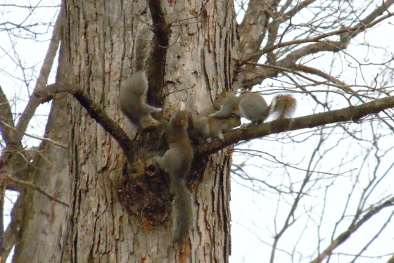 Young Eastern Gray Squirrels