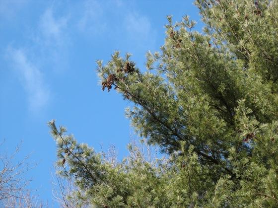 White Pine cones
