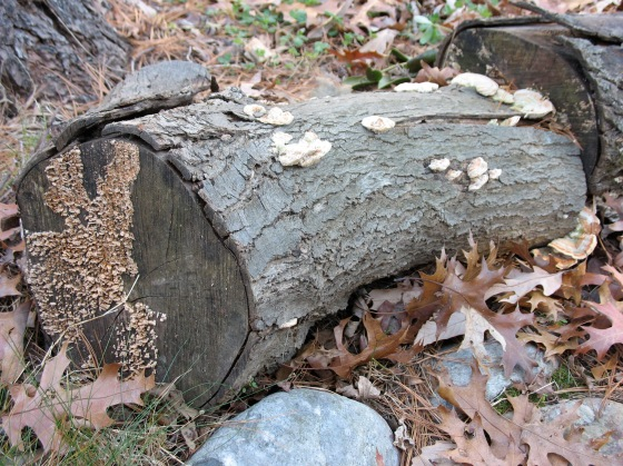 log of fungus