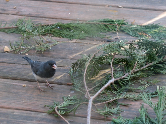 Slate-colored Junco, eating hulled sunflower seeds!