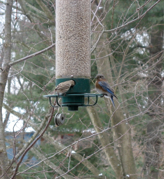 Female Eastern Bluebird (right)