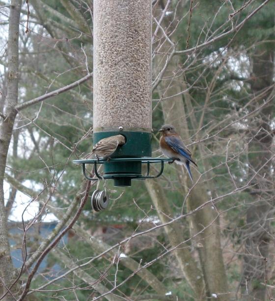 Female Eastern Bluebird (right)
