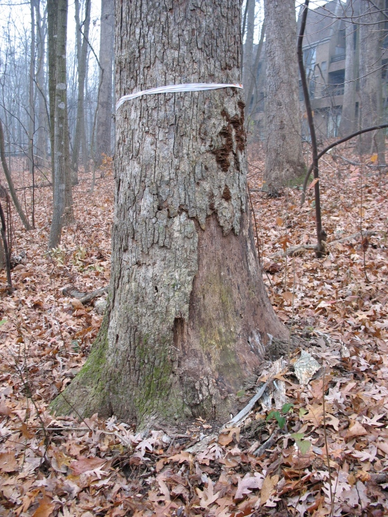 marked dead tree