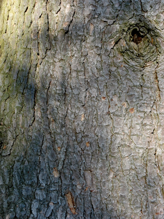 Eastern Hemlock bark