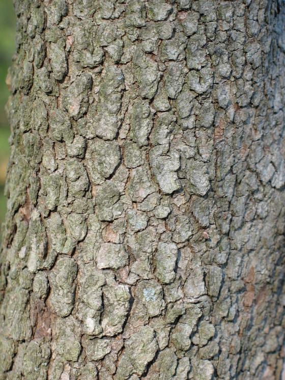 bark of the Flowering Dogwood
