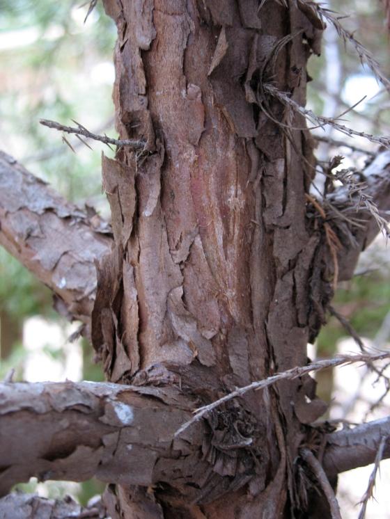 Easter Red Cedar bark
