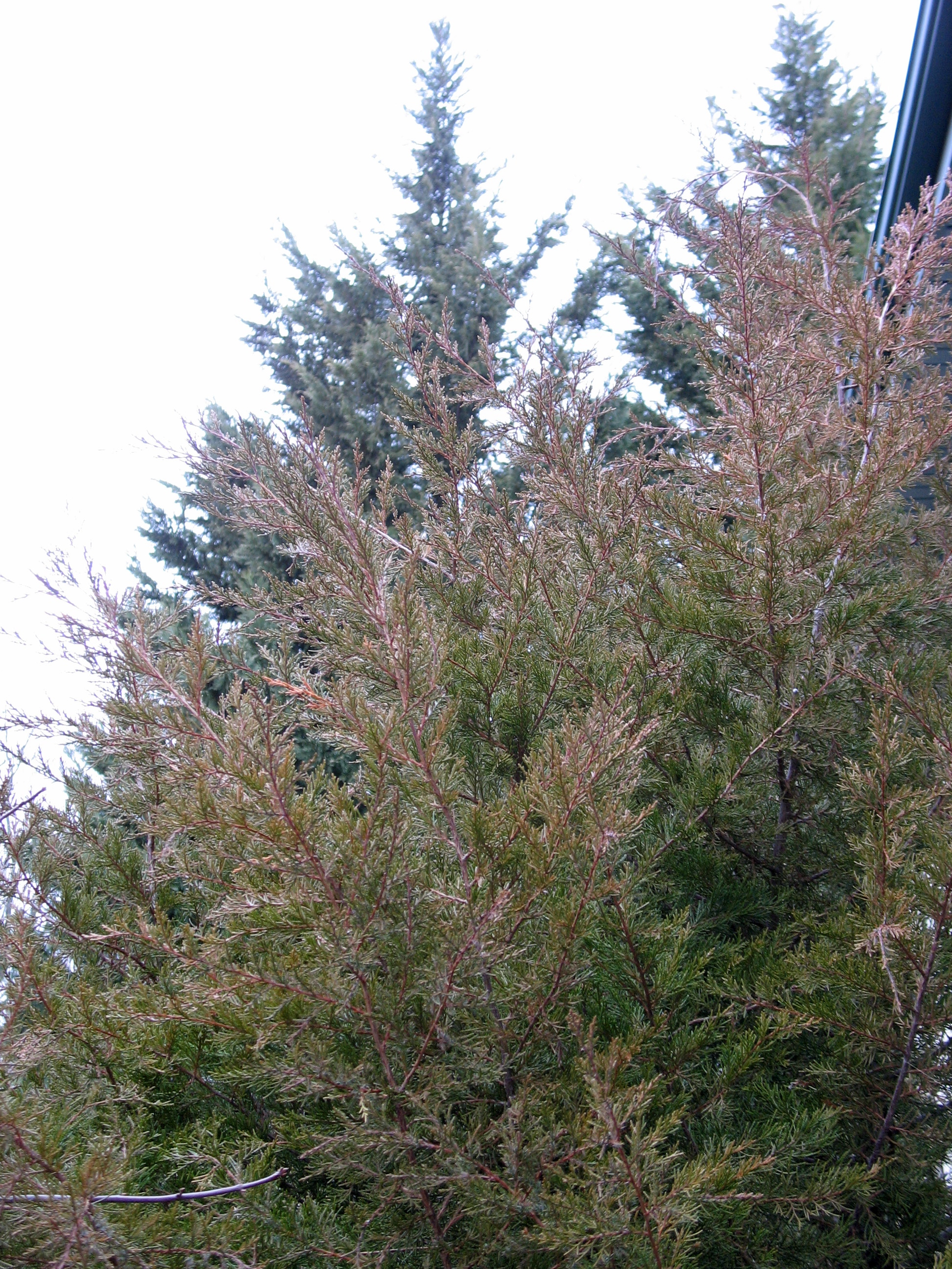 Eastern Red Cedar ~ Eastern red cedar the squirrel nutwork