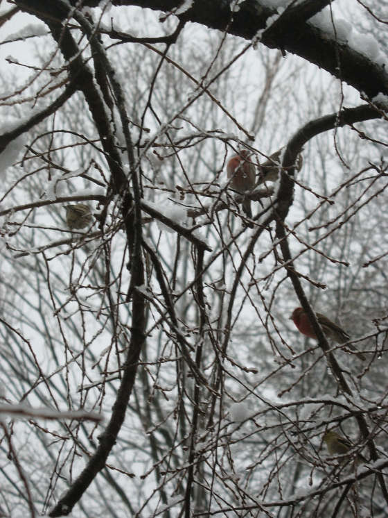 Finches waiting their turns