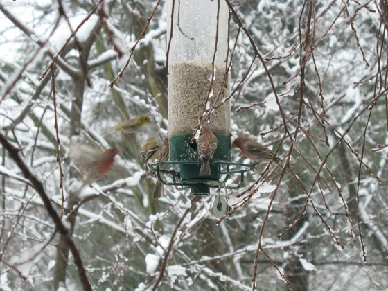 Goldfinches and House Finches at feeder