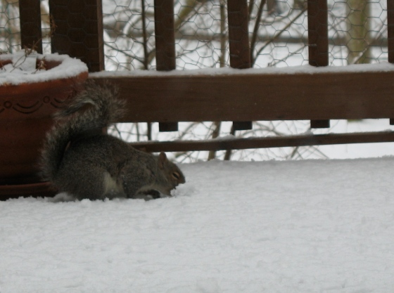 squirrel plowing