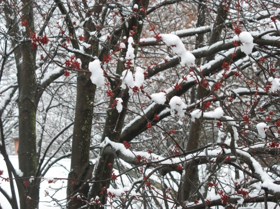Red Maple blossoms under snow