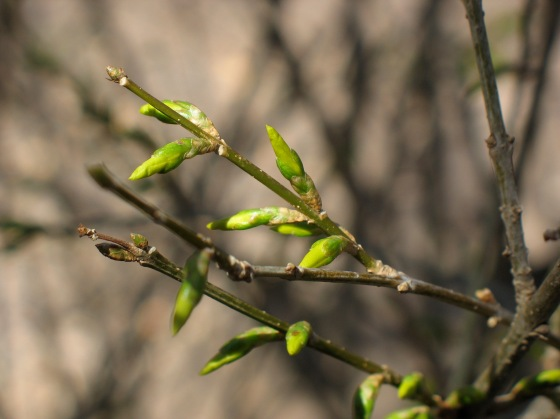 B is for Buds on forsythia