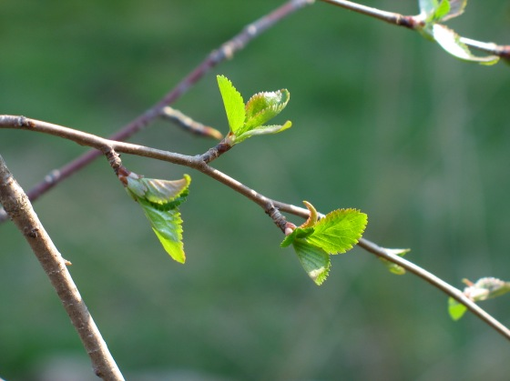 new leaves on a wild cherry