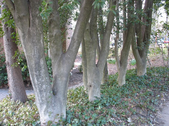 Holly trunks