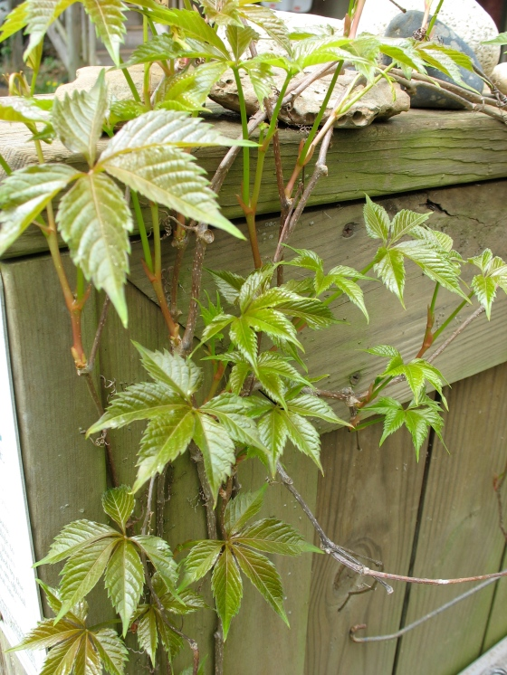 Virginia Creeper climbing fence