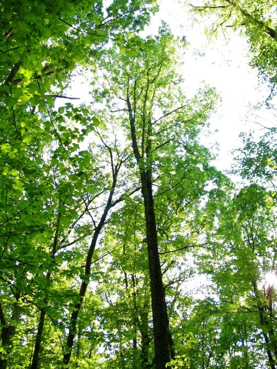 Yellow Poplar Tree