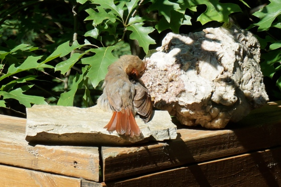 young Northern Cardinal