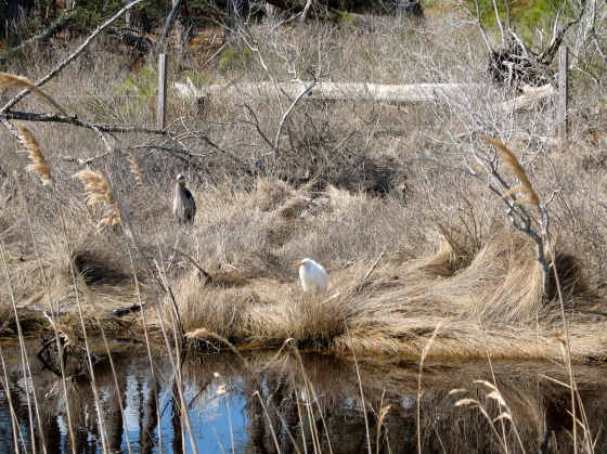 Herons on freshwater impoundment
