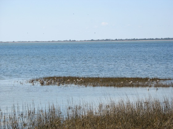 shorebirds on the salt marshes