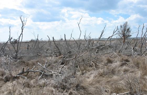 marsh shrubs killed by flooding