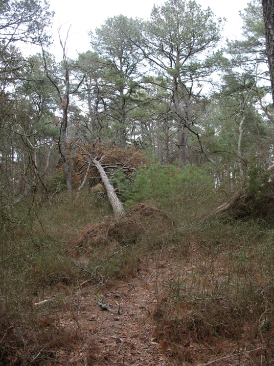 downed Loblolly Pine