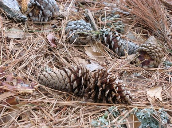 Loblolly Pine cones