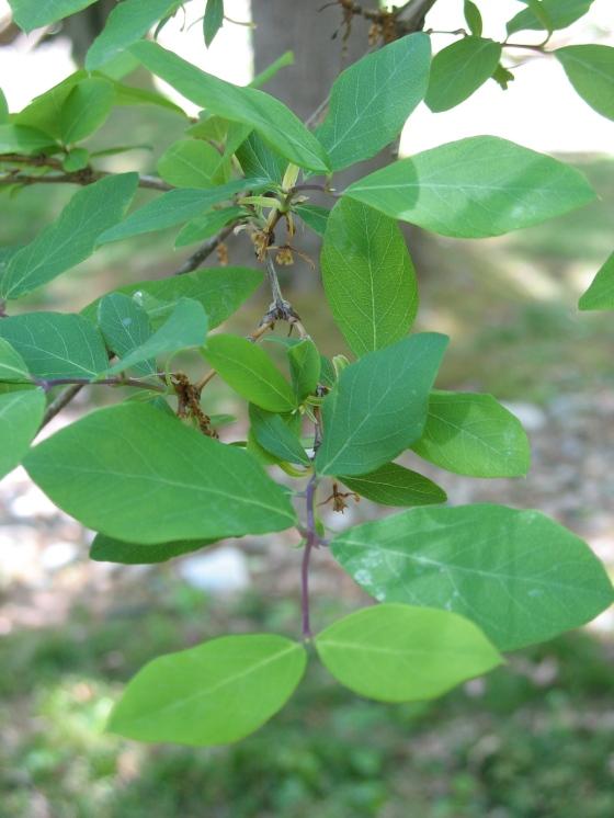 shrub leaves
