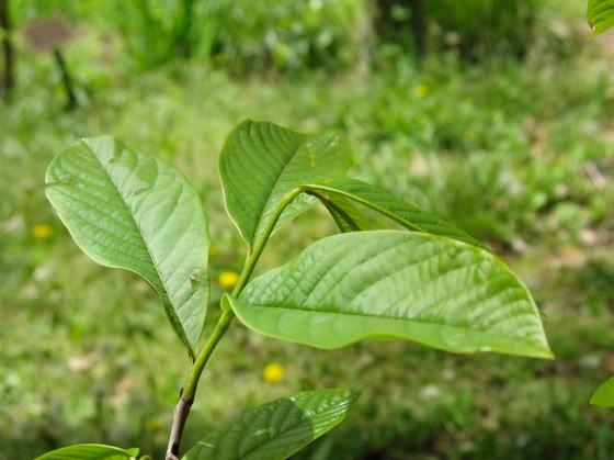 Common Pawpaw Tree leaves