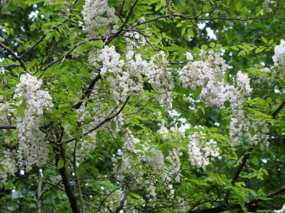 Black Locust Tree flowers
