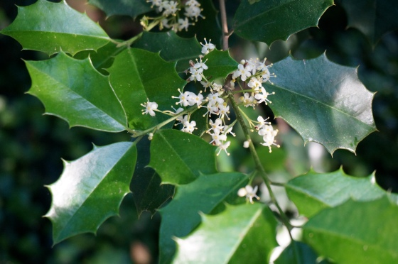 American Holly flowers
