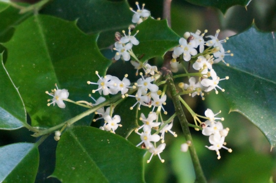 staminate flowers of American Holly