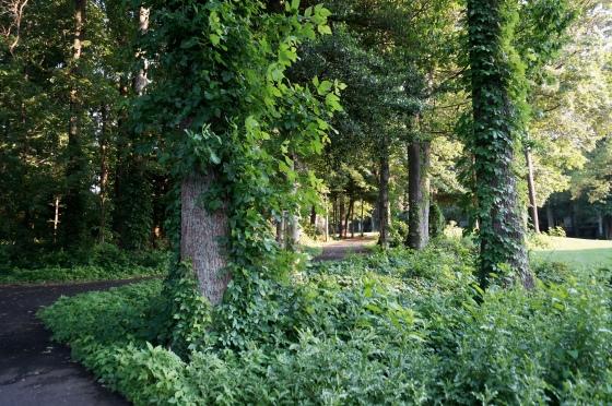 Vines overtaking woods
