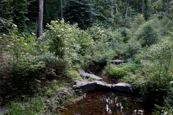 Stream lined by Common Elderberry